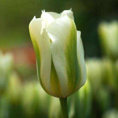 Луковицы Тюльпана Спринг Грин