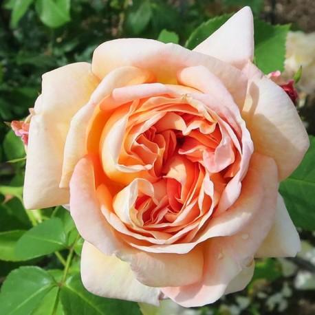 Саженцы розы Алхимист