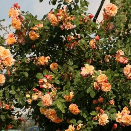 Саженцы розы Алоха