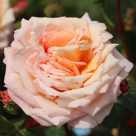 Саженцы розы Барок