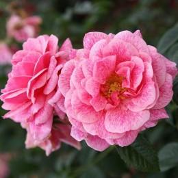 Саженцы розы Камелот