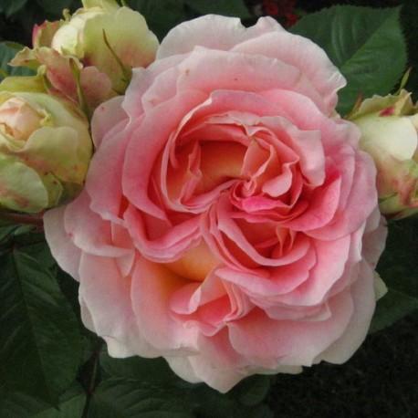 Саженцы розы Цезарь