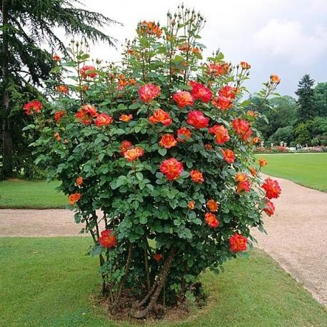 Саженцы розы Декор Арлекин