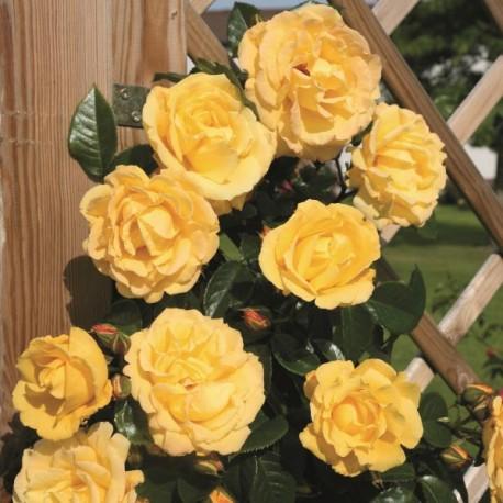 Саженцы розы Дукат