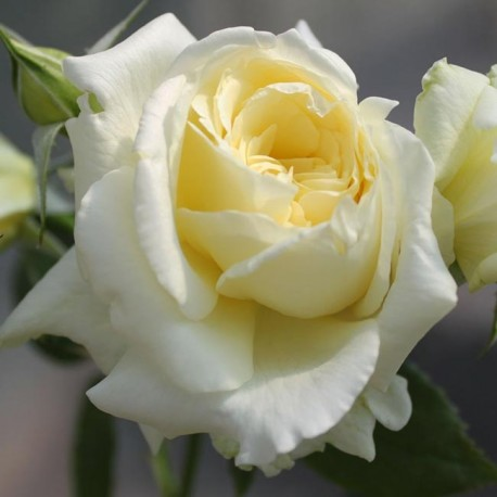 Саженцы розы Эльф