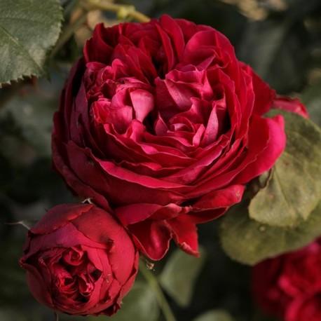 Саженцы розы Эрик Таберли