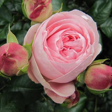 Саженцы розы Джардина