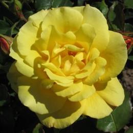 Саженцы розы Голдштерн