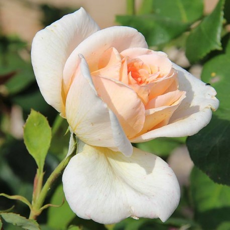 Саженцы розы Гранд Могул