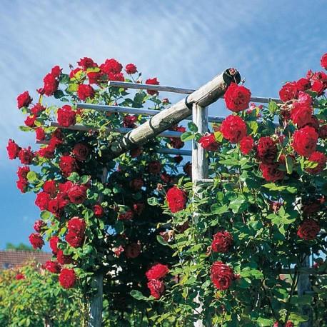 Саженцы розы Грандесса