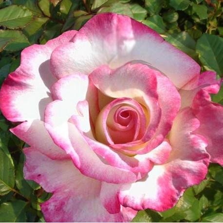 Саженцы розы Хендель