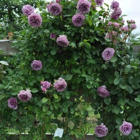 Саженцы розы Индиголетта