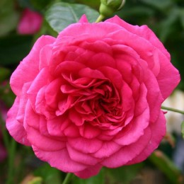 Саженцы розы Лагуна