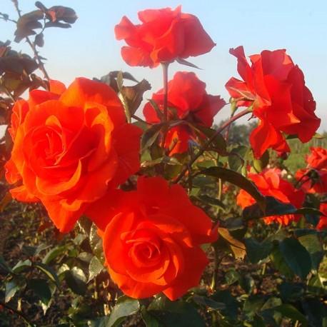Саженцы розы Мэйнтауэр