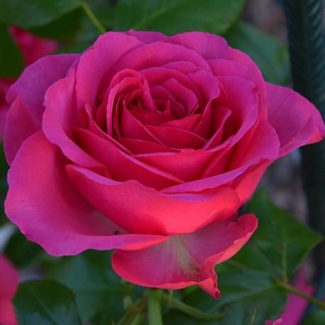 Саженцы розы Маритим