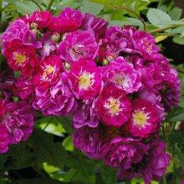 Саженцы розы Перенниал Блю
