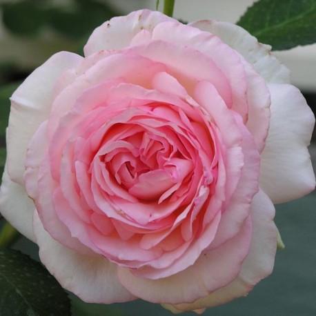 Саженцы розы Пьер Де Ронсар