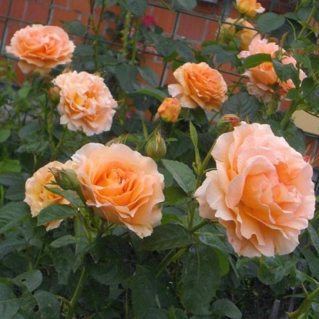 Саженцы розы Полька