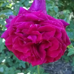 Саженцы розы Ред Парфюм