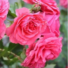 Саженцы розы Розариум Ютерзен