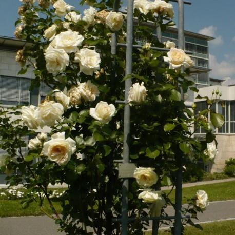 Саженцы розы Шнеевальцер