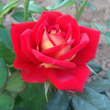 Саженцы розы Шогун