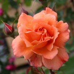 Саженцы розы Вестерленд