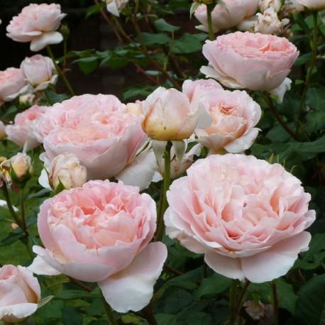 Купить роза абрахам дерби