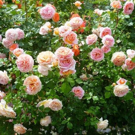 Саженцы розы Абрахам Дерби