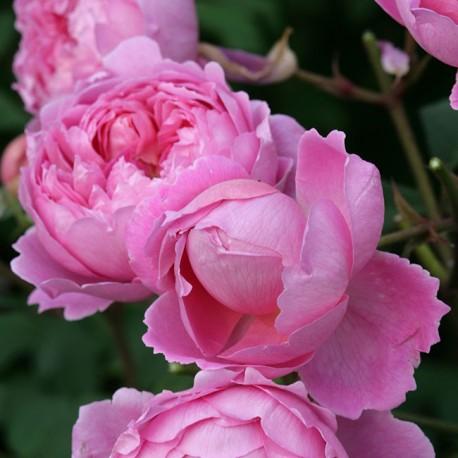 Саженцы розы Алан Титчмарш