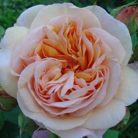 Саженцы розы Чарльз Остин
