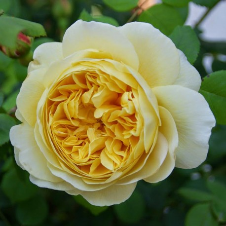 Саженцы розы Чарльз Дарвин
