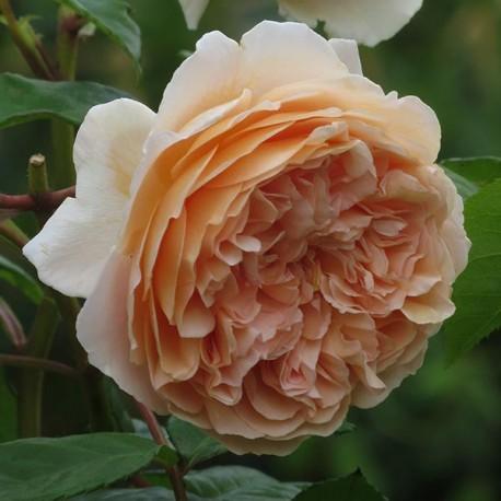 Саженцы розы Краун Принцесс Маргарет