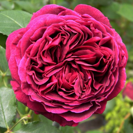 Саженцы розы Фальстаф