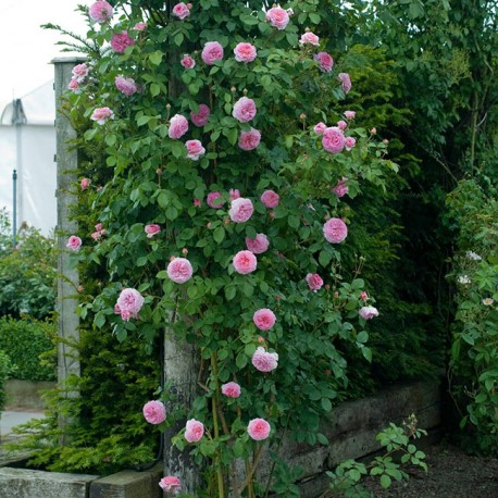 Саженцы розы Джеймс Гелвей