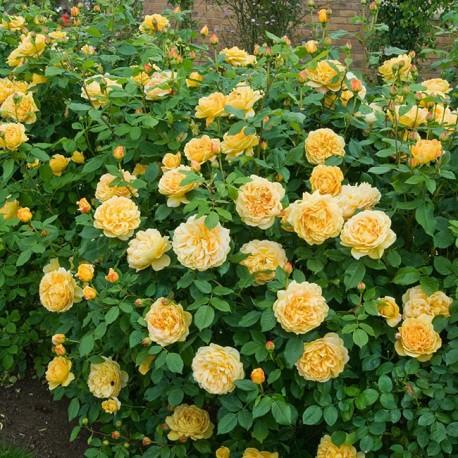Саженцы розы Голден Селебрейшн