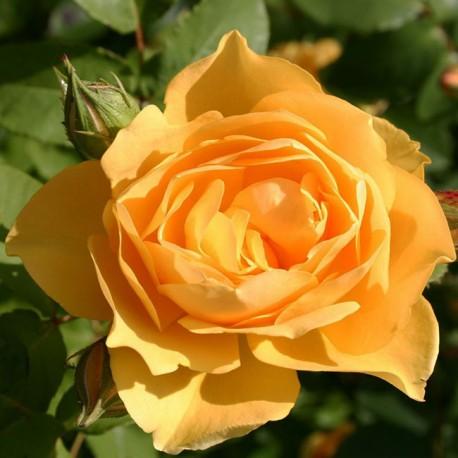 Саженцы розы Грехам Томас