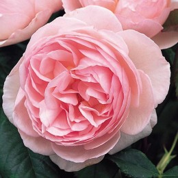 Саженцы розы Херитейдж