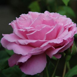 Саженцы розы Мэри Роуз