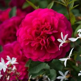 Саженцы розы Сэр Джон Бенджамин