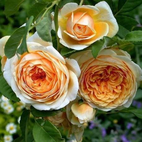 Саженцы розы Тизинг Джорджия
