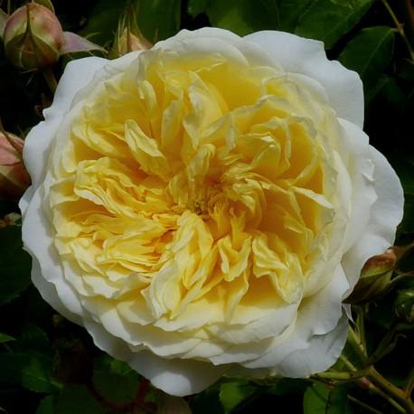 Саженцы розы Пилигрим