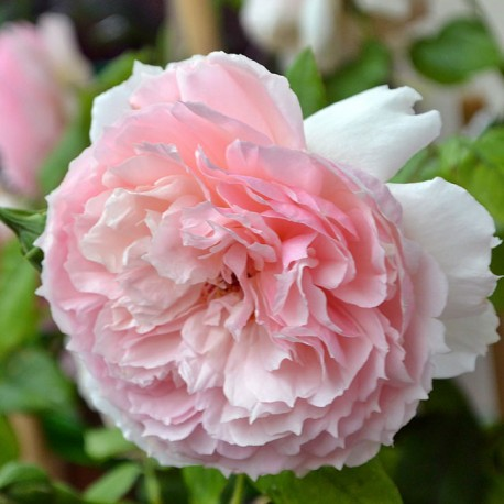 Саженцы розы Зе Веджвуд Роуз