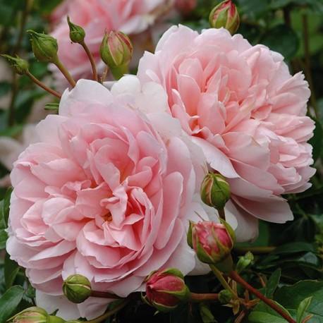 Саженцы розы Вилдив