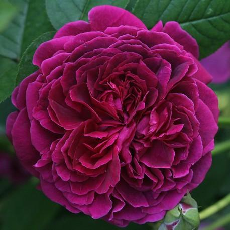 Саженцы розы Вильям Шекспир 2000
