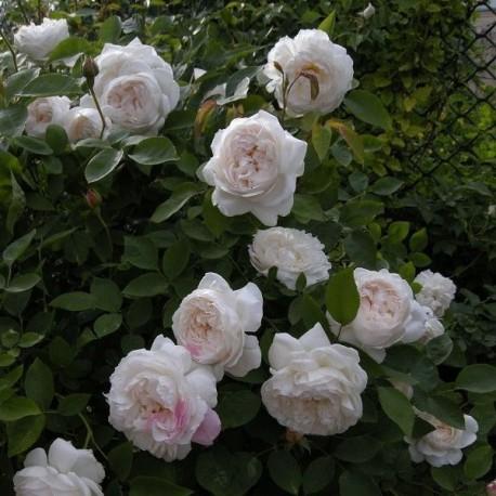 Саженцы розы Винчестер Кафедрал