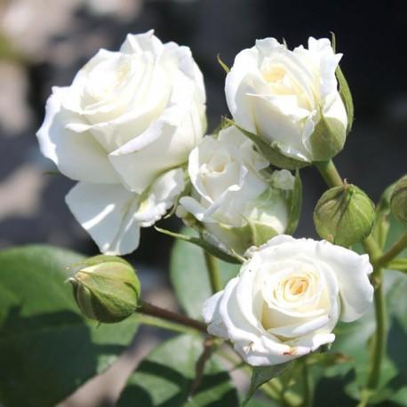 Саженцы розы Алабастер