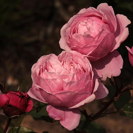 Саженцы розы Дитер Мюллер