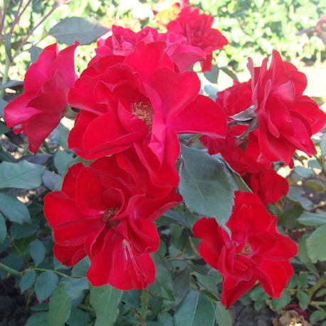 Саженцы розы Европеана