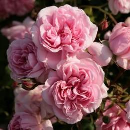 Саженцы розы Хоум Энд Гарден